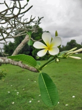 Frangipani tree and fallen flowers
