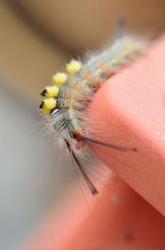 Very hairy caterpillar!