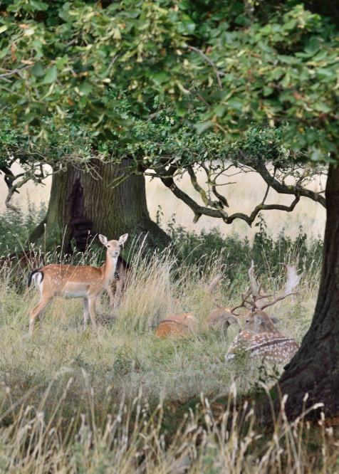 Deer at Charlecote Park