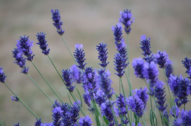Lavender essential oil - scent super powers
