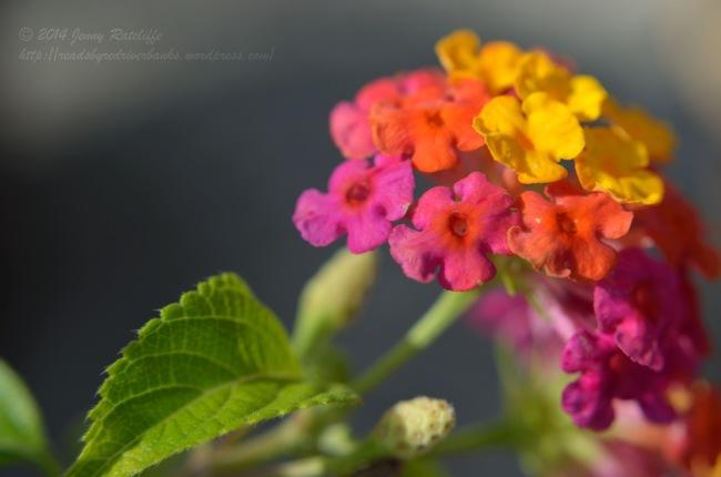 Lantana shrub verbena