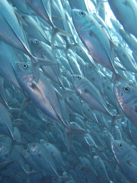 bigeye trevally on the move