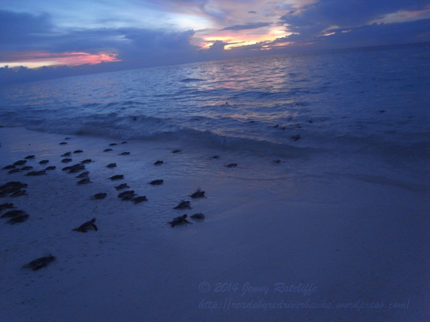 And they're off! Green turtle hatchlings, heading off into the sunset on Lankayan, Malaysia.