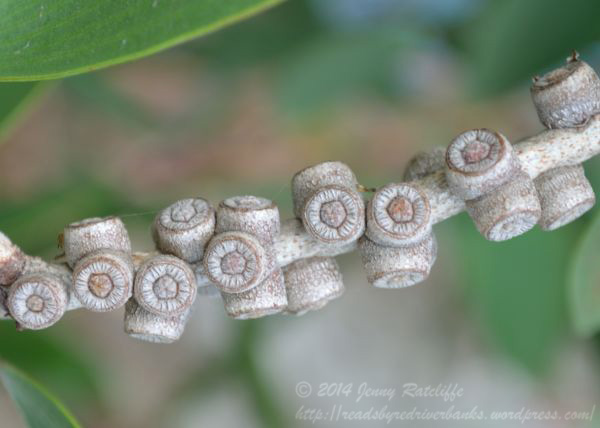 young seed capsules, like bracelet charms.  These remain on the tree until it dies or they are released by a fire. Of no use to foragers, but very interesting to look at!